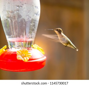 Hummingbird hovering near feeder with its tongue out that its used to slurp up nectar against an orangish brown blurred background
