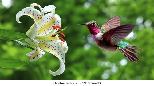 Hummingbird hovering next to lily flowers on nature background