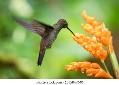 Hummingbird hovering next to orange flower,garden,tropical forest,Brazil, bird in flight with outstretched wings,flying hummingbird sucking nectar from blossom,exotic travel adventure,clear background