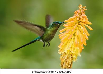 Hummingbird Long Tailed Sylph Eating Nectar From Beautiful Yellow Flower In Ecuador
