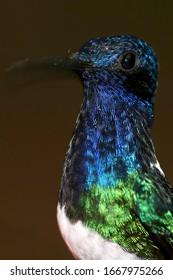 Hummingbird, Maquipucuna Cloud Forest Reserve, Pichincha Province, Ecuador, America