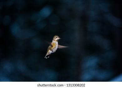 Hummingbird In Mid Flight