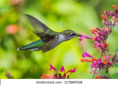 hummingbird at mid-flight