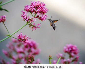 Hummingbird moth closeup on pink flowers