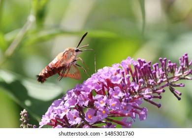 A hummingbird moth in the garden