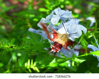 Hummingbird moth on blue plumbago with green leaves