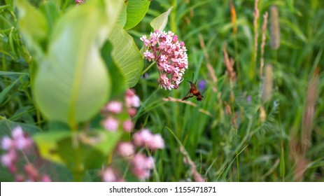 Hummingbird Moth On A Milkweed Plant