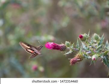 hummingbird Moth Sucking Nectar. sphinx moth
