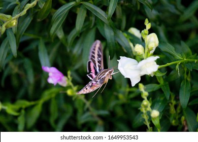 Hummingbird Moth, the White- Lined Sphinx Moth