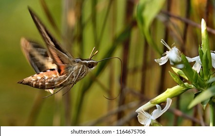 Hummingbird moth ,White-lined Sphinx (Hyles lineata) one of the most abundant hawk moths in North America .