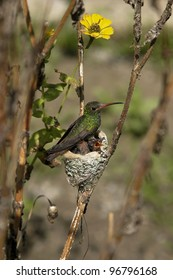 hummingbird in nest with her young