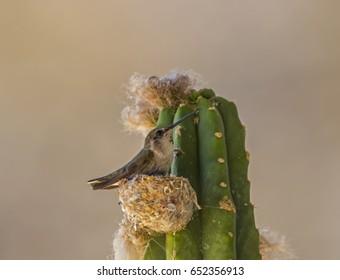 Hummingbird nesting on a cactus in Phoenix Arizona