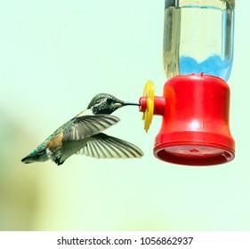 Hummingbird next to bird feeder. Bee hummingbird. Mellisuga helenae.