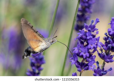 Humming-bird on lavender
