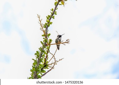 Hummingbird on an Ocotillo Cactus