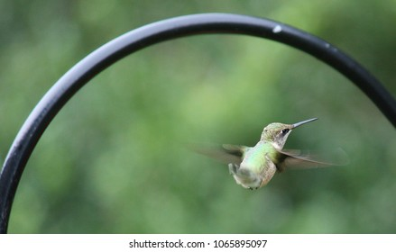 Hummingbird on Wing