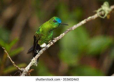 Hummingbird photography in Ecuador. Grass green, glittering hummingbird with blue head and tail, Eriocnemis luciani, Sapphire-vented Puffleg, perched on mossy twig in high altitude cloud forest.
