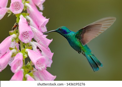 Hummingbird with pink bloom in forest habitat. Green Violet-ear, Colibri thalassinus, flying in the nature tropical wood habitat, red flower, Tapanti NP, Costa Rica. Wildlife scene from jungle.