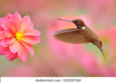 Hummingbird with pink flower. Brown Inca, Coeligena wilsoni, flying next to beautiful pink bloom, Colombia. Bird in the blooming garden. Wildlife scene from nature. Animal in the tropic forest.