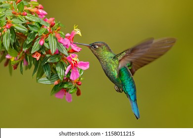 Hummingbird with pink flower. Fiery-throated Hummingbird, flying next to beautiful bloom, Costa Rica. Action wildlife scene from tropic nature. Bird in fly, sunny day.