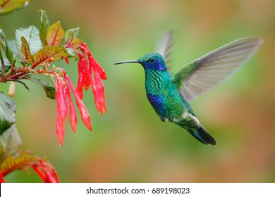 Hummingbird with red flower. Green and blue hummingbird Sparkling Violetear  flying next to beautiful red bloom. Wildlife scene from nature. Birdwatching in Ecuador.