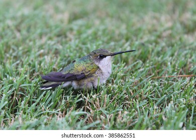 Hummingbird rests in grass with pollen on beak