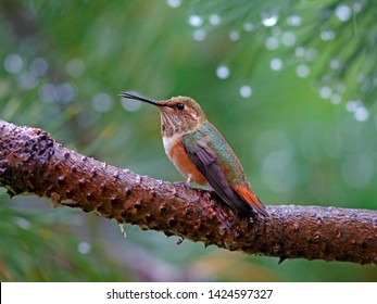 Hummingbird, Rufuous female, sitting on pine tree branch after summer rain.