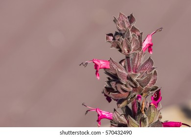 Hummingbird sage (Salvia spathacea) flowers, California