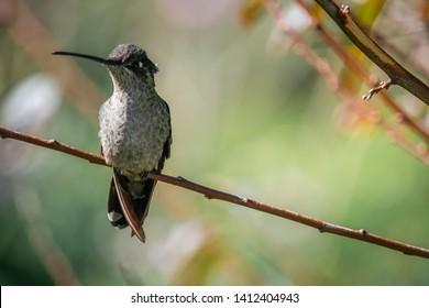 Hummingbird at San Gerardo de Dota, Costa Rica.