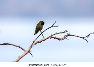 Hummingbird sitting on branch,  La Jolla, San Diego, California
