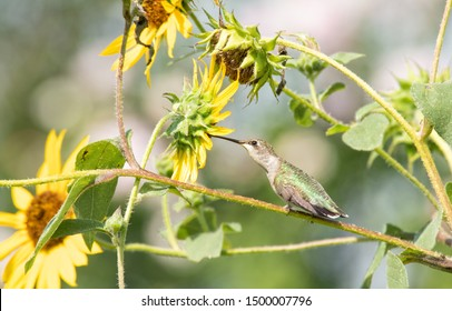 Hummingbird sitting on a Sunflower branch, reaching for a flower to get a drink of nectar