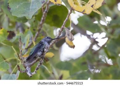 Hummingbird sitting in a tree