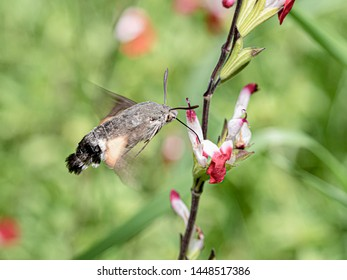 hummingbird sphinx sipping in red mallow on its side