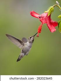 Hummingbird Taken At During Mid Flight Humming Eating Nectar