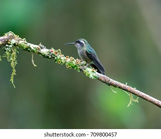Hummingbird, White-bellied Woodstar female, sits on the brunch, Ecuador