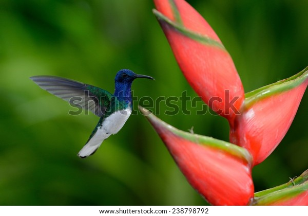 Hummingbird White-necked Jacobin flying next to beautiful red flower heliconia with green forest in background.