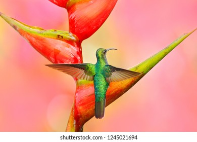 Hummingbird White-tailed Sabrewing flying next to beautiful Strelitzia red flower. Wildlife scene from tropical forest. Bird sucking nectar from bloom, animal behaviour, Trinidad and Tobago.