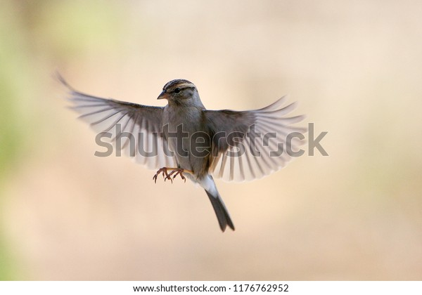hummingbird-wings-spread-open-coming-600
