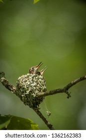Hummingbirds are birds native to the Americas and are in the biological family Trochilidae. They are among the smallest of birds, most species measuring 7.5–13 cm (3–5 in) in length.