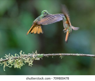 Hummingbirds, Chestnut-breasted coronets are fighting in the air, Ecuador
