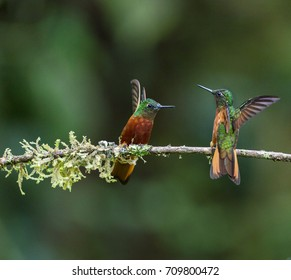 Hummingbirds, Chestnut-breasted coronets are fighting on the branch, Ecuador