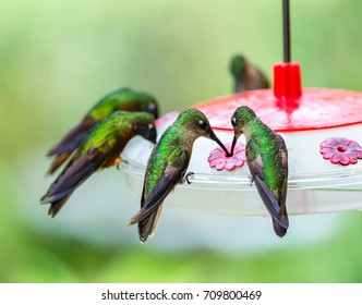 Hummingbirds, Fawn-breasted brilliant on the feeder, Ecuador