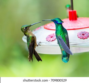 Hummingbirds, Green violet-ear and Fawn-breasted brilliant on the feeder, Ecuador