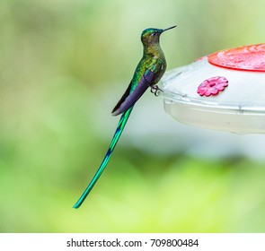 Hummingbirds, Long-Tailed Sylphs on the feeder, Ecuador
