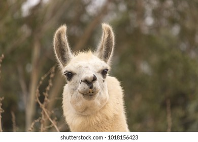 Humorous alert head shot of white smiling llama, alpaca has smile with teeth showing, ears up, kind eyes