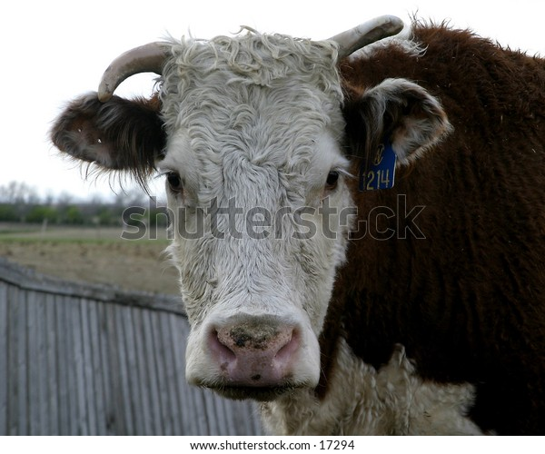 A humorous image of a cow staring at the viewer.