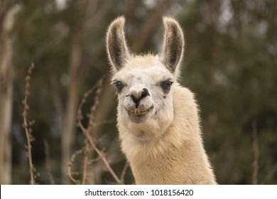 Humorous llama showing teeth, aggressive alpaca, evil smile with ears up close up head shot