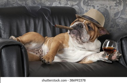 Humorous photograph of English Bulldog resting in a black leather chair with a cigar and glass of cognac