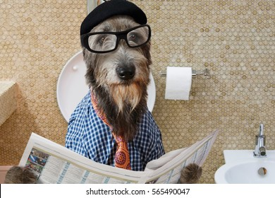 Humorous picture of a Irish wolfhound dog dressed in a hat, glasses and shirt, sitting on the crapper reading the newspaper