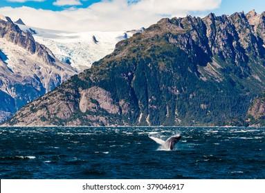 A humpback breaches beneath the glaciers of Northwestern Fjord in Prince William Sound, Alaska